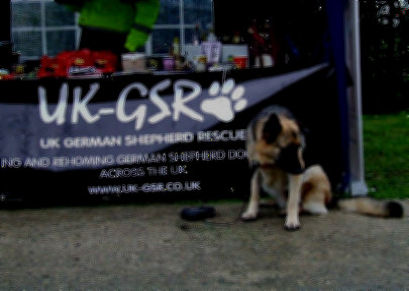 GSD Rehoming